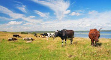 mark-med-koer-og-skyer